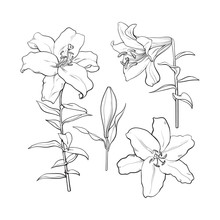 Set Of Hand Drawn White Lily Flowers In Side And Top View, Sketch Style Vector Illustration Isolated On White Background. Realistic Hand Drawing Of White Lily, Wedding, Easter Flower, Symbol Of Love