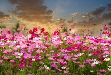 Obraz Cosmos Flower field on sun rise background,spring season flowers