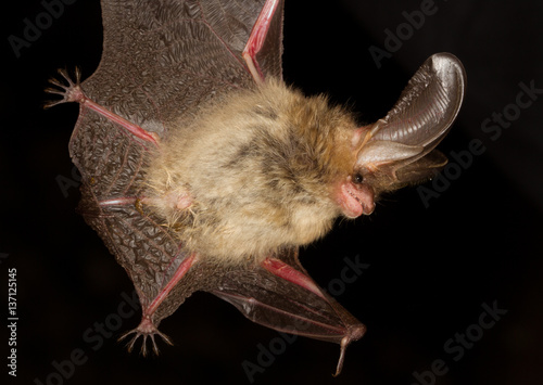 Long eared bat Plecotus auritus flying on dark night