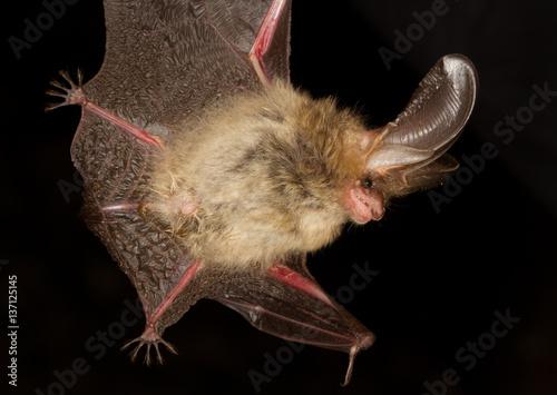 Long eared bat Plecotus auritus flying on dark night