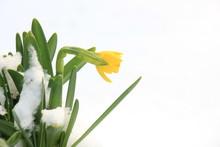 Daffodil Bulbs In The Snow