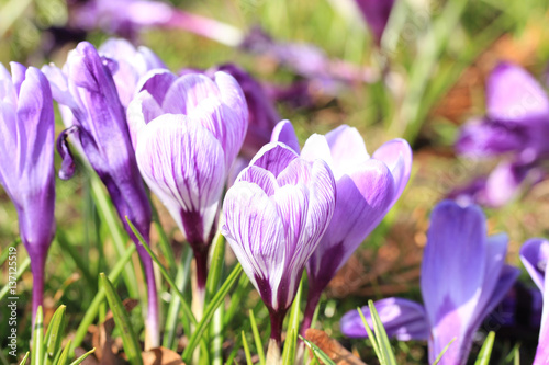 Foto op Plexiglas Krokussen Purple and white crocuses