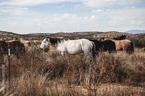 Poster Texas Medium group of horses standing in field, Marfa, Texas, United States of America