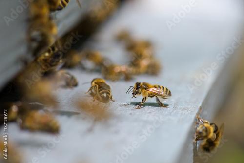 Aluminium Prints Bee Closeup of bees on hive