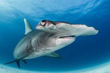 Hamerhead Shark Portrait