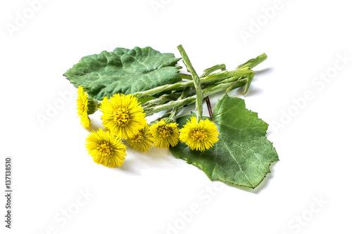 Obraz na plátne  Medicinal plant coltsfoot (Tussilago farfara)