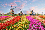 Fototapeta Tulips - Landscape with tulips in Zaanse Schans, Netherlands, Europe