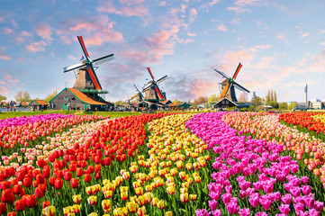 FototapetaLandscape with tulips in Zaanse Schans, Netherlands, Europe