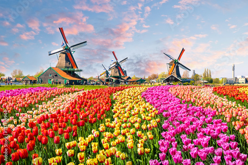 Photo Stands Blue sky Landscape with tulips in Zaanse Schans, Netherlands, Europe