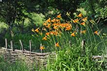 Hemerocallis Flower And Fence