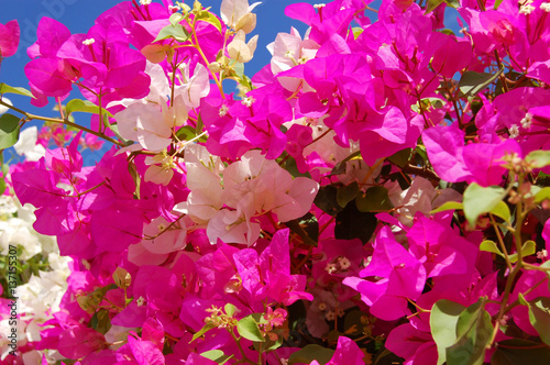 Canvas-taulu Beautiful bougainvillaea flower