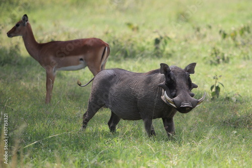 Photo  Warthog in African savannah