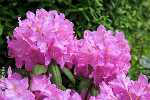 Zdjęcie XXL Piękny różowy różanecznik.