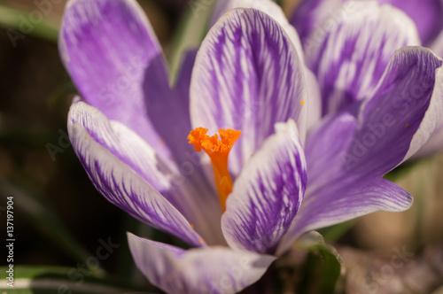 purpurowy-krokus-w-delikatnym-zblizeniu