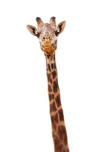 Giraffe Closeup Isolated - Hap...