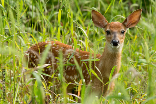 Spoed Fotobehang Ree White-tailed deer fawn in tall grass.