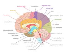 Cartoon Human Brain Anatomy In A Cut. Vector