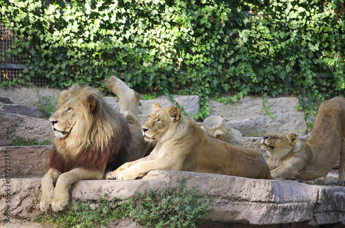 Wall Murals Ostrich Lion family on the rock. Relax and sleepy