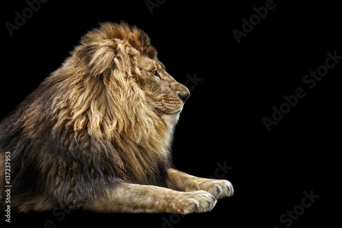 Recess Fitting Lion Portrait of a Beautiful lion, Cat in profile, lion in dark