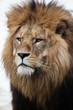 Löwe, Panthera leo