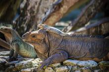 Baby Green Iguana Lies On Its ...