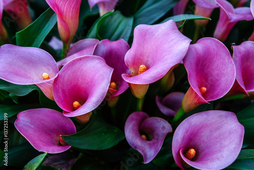 Photo Calla lilys. Abstract background. Keukenhof Flower Park