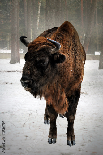European bison in winter Tapéta, Fotótapéta
