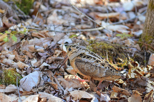 Fotografia, Obraz  American woodcock on the forest floor
