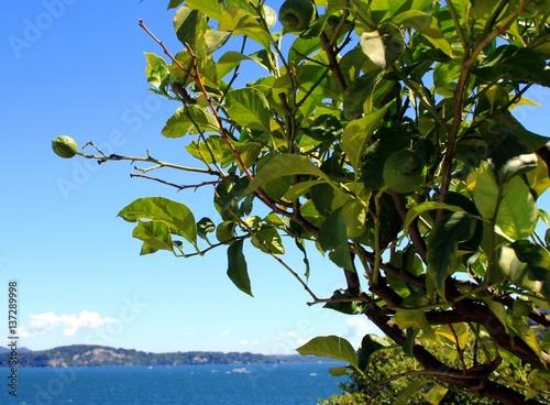Foto op Canvas Olijfboom Zitronen am See