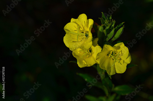 Photo  Verbascum thapsus (great mullein or common mullein)