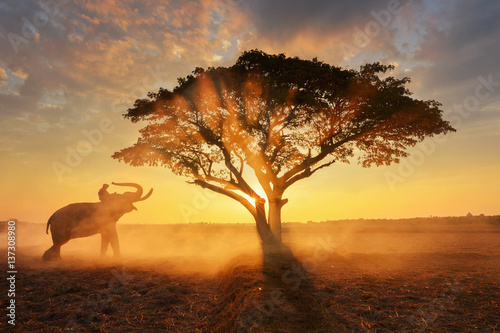 Elephant and Man hometown in  the mist on during sunrise ricefield ,Surin Thaila Wallpaper Mural