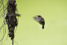 The Olive-backed Sunbird, Also...