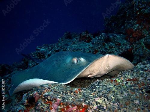 Poster Sous-marin Stingray / underwater photograph, dive site - Barranco seco, Tenerife, Canarian Islands, depth - 20m