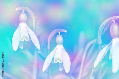 Spoed Foto op Canvas Turkoois The first delicate spring flower snowdrop.