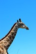 Beautiful giraffe portrait against the blue sky, South Africa