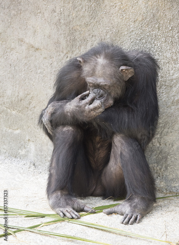 Fotografie, Obraz  Brownish-black female chimpanzee resting on gray stone with a hand to her face