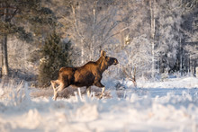 Mother Moose Trotting In Snow On A Sunny Winter Day In Sweden