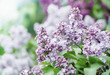 Branch of lilac flowers with green leaves, floral natural vintage hipster background