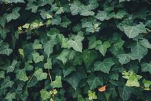 Full Frame Ivy Leaves