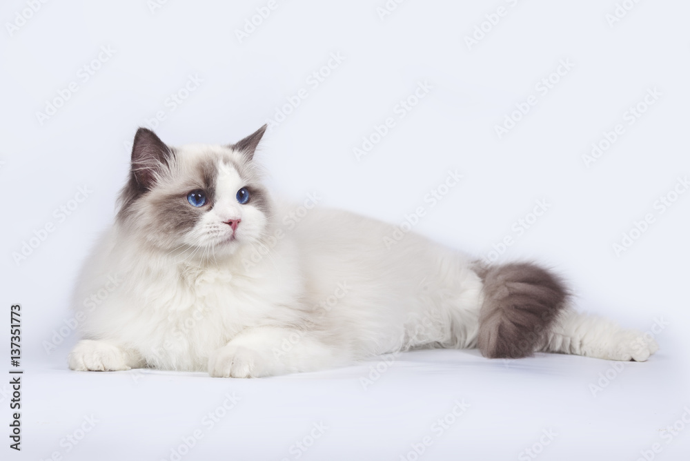 f1d5d6c9 Fotografering, Plakater og kunstutskrifter | Kjøp hos  Europosters.noBeautiful cat ragdoll with blue eyes on white background.