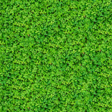 Natural Texture With Many Clover Leaves