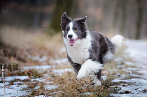 Fotografie, Obraz  Dog portrait of border collie in the middle of the forrest