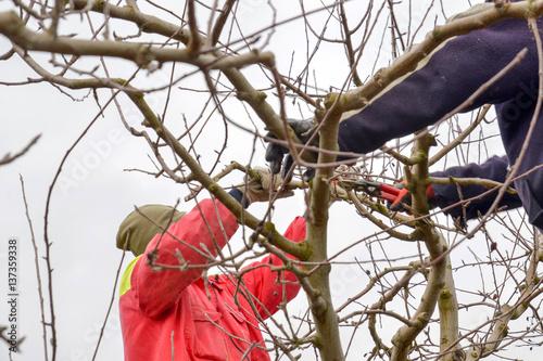 Fotografía  pruning apple orchard in winter