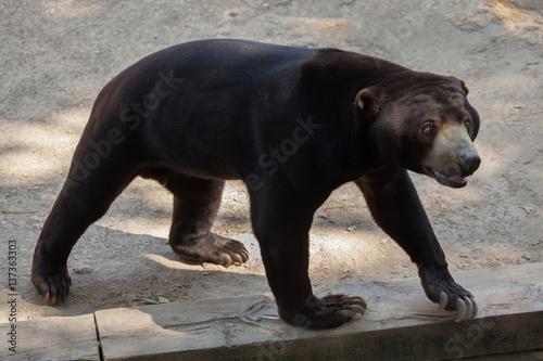 Fotografía  Malayan sun bear (Helarctos malayanus)