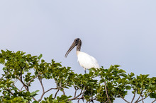 Wood Stork Perching In A Tree