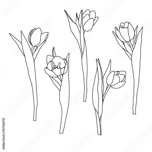 Fototapety, obrazy: Hand drawn decorative tulips isolated on white. Hand drawn illustration. Ink drawing flowers. Contour pencil drawing. Hand drawn sketch. Drawn sketch of flowers. Flowers doodles.