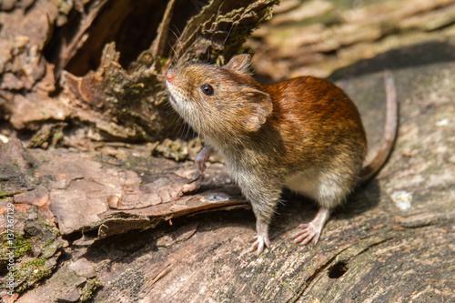 Fotografía  Flinke Rötelmaus im Unterholz von einem Wald