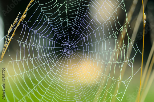 The web is stretched between tall grass stems