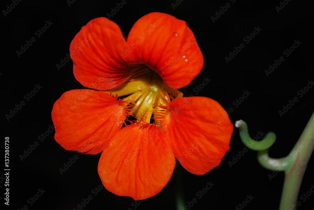 Czerwony kwiat 2 - obrazy, fototapety, plakaty