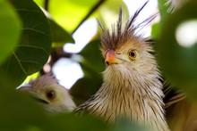 Close Up Of Guira Cuckoo In A ...
